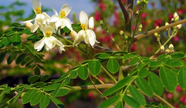 moringa-oleifer