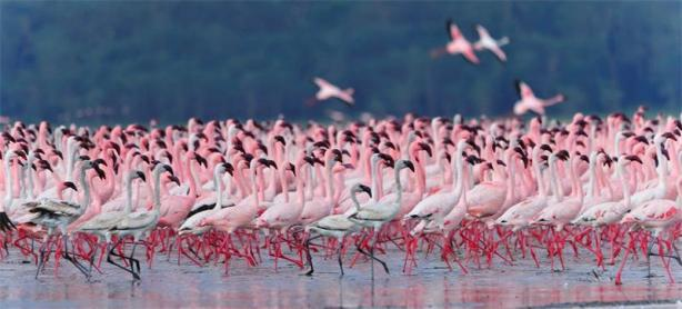 The-Greater-Flamingo-Extraordinary-Life-of-an-Ordinary-Bird